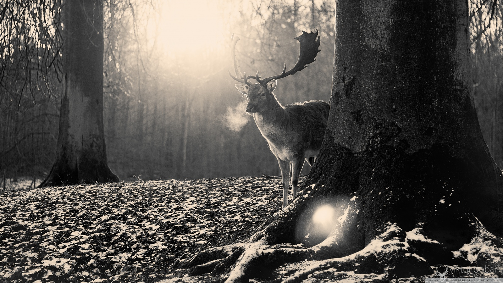 stag_winter-wallpaper-1600x900